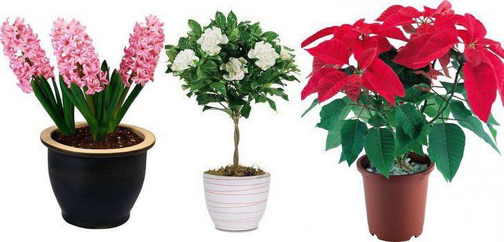 Цветы в подарок комнатные цветы