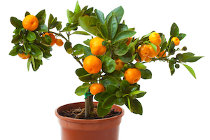 Апельсиновое дерево в подарок