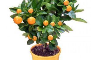 Мандариновое дерево в подарок